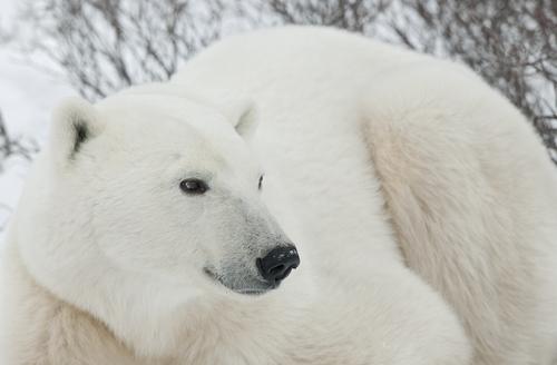A polar bear severely injured a Canadian resident last November.